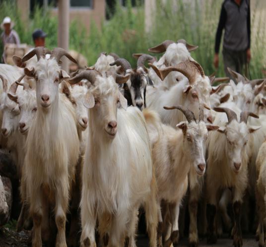 青山绿水白羊峪里可爱的羊群